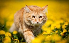 Картинка цветы, природа, весна, желтые, Кот, рыжий, одуванчики