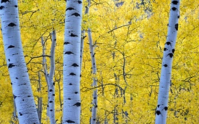 Обои осень, лес, листья, деревья, береза, осина