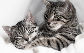 Картинка кошка, кот, парочка