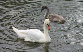 Картинка лето, птицы, пруд, Лебедь, птенец, лебеденок