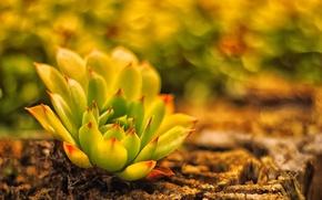 Картинка земля, растение, размытость, кактус, каменная роза, живучка, молодило
