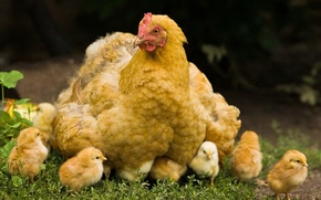 Картинка трава, цыплята, курица, Желтая