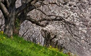 Обои яблони, весна, природа