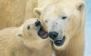Обои медведи, медвежонок, белые медведи, медведица, полярные медведи