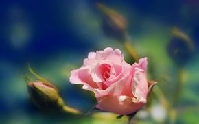 Картинка роза, размытость, бутон, Розовая