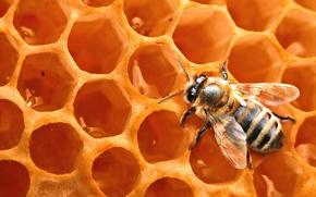 Картинка пчела, фон, соты, насекомое, мёд