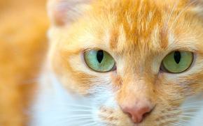 Картинка кошка, глаза, кот, взгляд, мордочка