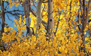 Картинка осень, небо, листья, деревья, ствол, осини
