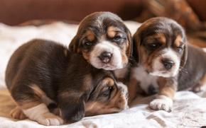 Картинка щенки, уют, дом, собаки, бигли