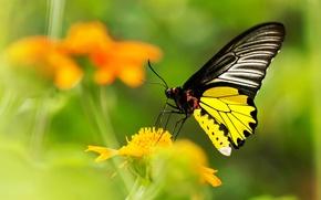 Обои цветок, желтый, бабочка, размытость