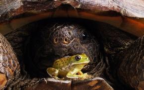 Картинка Лягушка, Панцирь, Черепаха