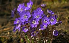 Обои цветы, природа, весна, фиалки