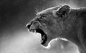 Картинка steam, animal, black and white, lioness, cold, mouth, fangs, howling