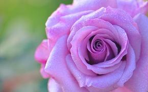 Обои роза, бутон, лепестки, капли, роса