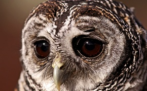 Картинка глаза, сова, Птица, грустный взгляд, совушка, неясыть