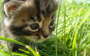 Обои grass, baby, the, cat
