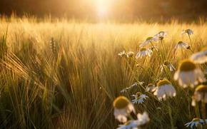 Картинка поле, солнце, свет, закат, рожь, ромашки