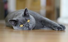 Обои лежит, серый, глаза, макро, кот