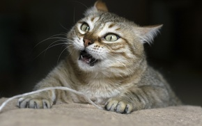Картинка кот, морда, клыки, сердитый