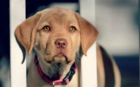 Картинка Собака, Взгляд, Морда, ошейник, Животное
