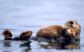Картинка вода, спит, детёныш, калан