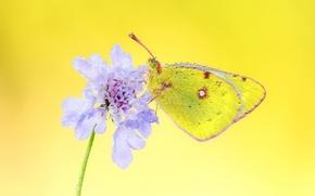 Картинка цветок, роса, фон, сиреневый, бабочка, капельки воды