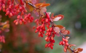 Картинка листья, макро, красный, ягоды, ветка
