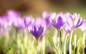 Картинка весна, крокусы, первоцвет, боке