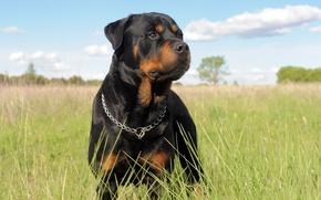 Картинка трава, собака, цепь, ошейник, ротвейлер