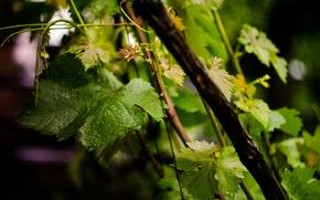 Обои лето, виноград, капли