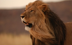 Обои лев, морда, кот