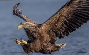 Обои орлан-белохвост, ястреб, хищник, птица