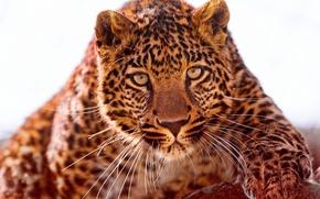 Обои взгляд, ягуар, хищник, морда