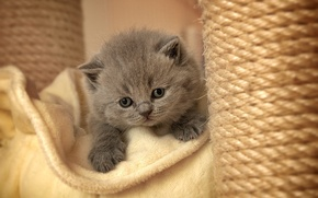 Картинка кот, котенок, серый, лапы, пушистый, коготки