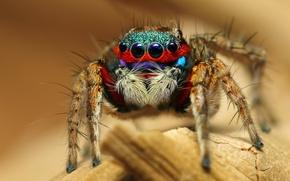 Картинка макро, паук, насекомое, Colorful Jumping Spider