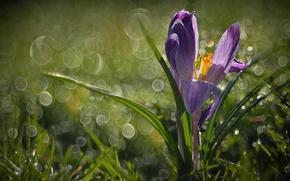 Картинка трава, макро, роса, весна, крокус, боке