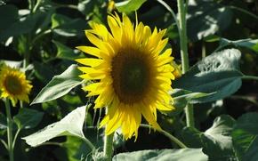Картинка поле, Подсолнух, желтый цветок