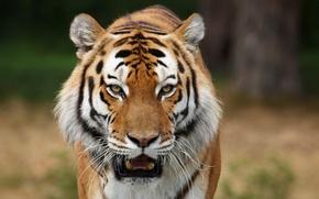 Картинка хищники, дикие кошки, сибирские тигры, фото животных