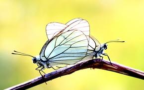Картинка бабочки, фон, две, ветка
