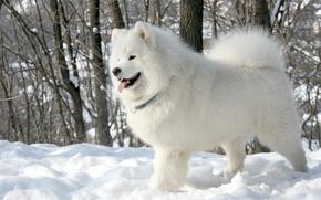 Картинка язык, белый, снег, деревья, фон, собака, Samoyed, Самоед, Самоедская собака