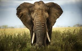 Картинка africa, elephant, savannah, ivory