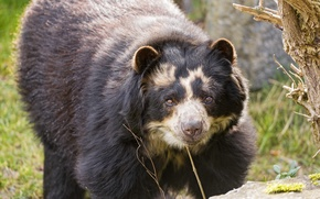 Обои взгляд, ©Tambako The Jaguar, очковый медведь, мишка