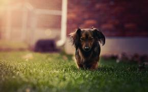 Картинка трава, собака, такса