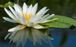 Обои макро, вода, лилия