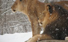 Картинка зима, снег, кошки, обои, Лев, царь зверей, Животные, львица