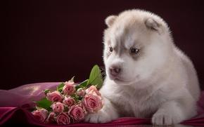 Картинка розы, малыш, щенок, хаски, порода
