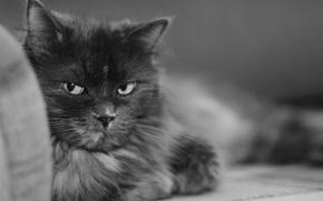 Обои черно-белая, Кошка, мурка
