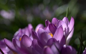 Картинка фокус, макро, цветы, фиолетовые, шафран, сиреневые, лепестки, Крокусы, весна