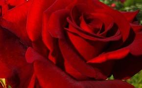 Картинка цветы, роза, весна, цветение, бардовая