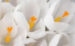 Картинка белый, макро, цветы